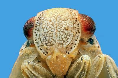 Leafhopper Head Art Print