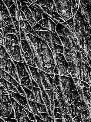 Wooden Photograph - Leafless Ivy by Hakon Soreide
