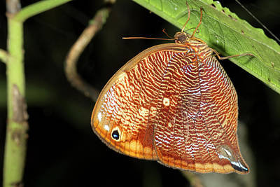 Ecuadorean Fauna Photograph - Leafwing Butterfly Roosting At Night by Dr Morley Read