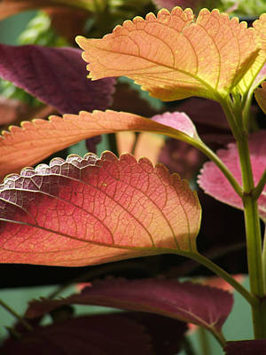 Photograph - Leafy Plant by Nelson Watkins