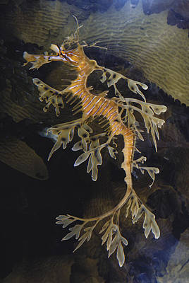 Leafy Sea Dragon Photograph - Leafy Sea Dragon by Dr. Paul Zahl