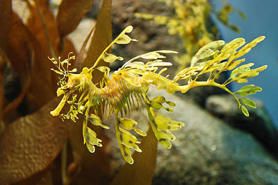 Aquatic Life Photograph - Leafy Sea Dragon by Shane Kelly