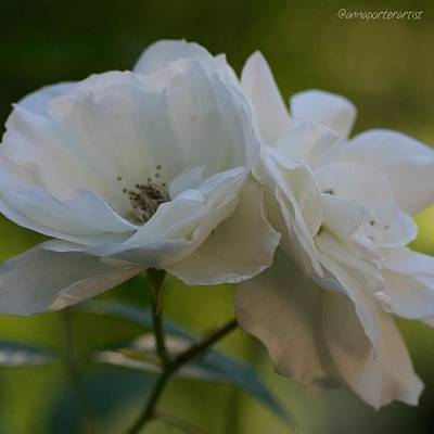 Florals Photograph - Lean On Me White Roses In Anna's Gardens by Anna Porter