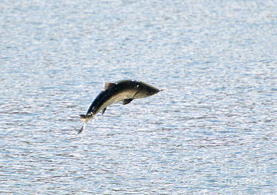 Salmon Photograph - Leaping Chinook by Mike  Dawson