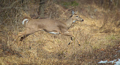 Photograph - Leaping Doe by Jahred Allen