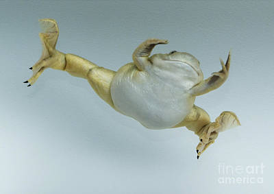 Photograph - Leaping Frog by Dan Suzio