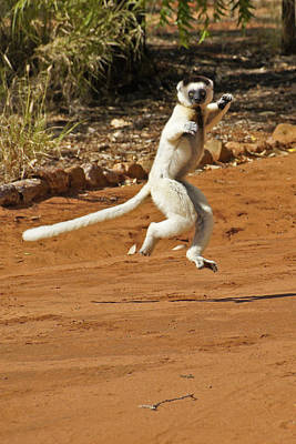 Photograph - Leaping Lemur by Michele Burgess