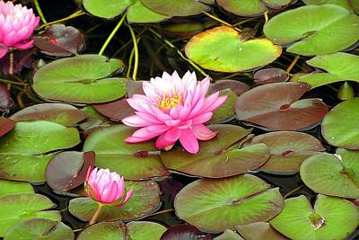 Nikki Vig Royalty-Free and Rights-Managed Images - Leaping LilyPads by Nikki Vig