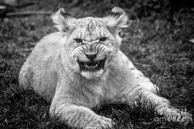 Animals Photos - Learning to Roar by David Rucker