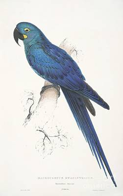 Painting - Lear's Macaw by Pg Reproductions