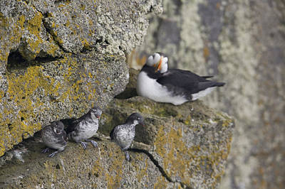 Auklets Photograph - Least Auklets Perched On A Narrow Ledge by Milo Burcham