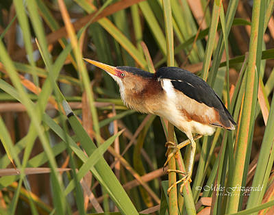 Photograph - Least Bittern by Mike Fitzgerald