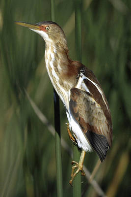 Photograph - Least Bittern On A Bulrush by Bradford Martin