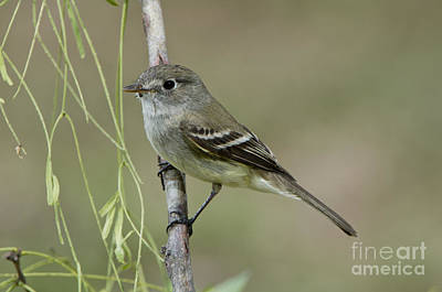 Flycatcher Photograph - Least Flycatcher by Anthony Mercieca