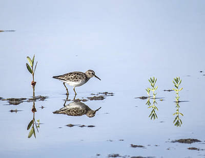 Sandpiper Digital Art - least Sandpiper in with mangrove shoots by Gail Campbell