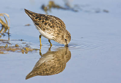 Least Sandpiper With A Reflection  Art Print by Ruth Jolly