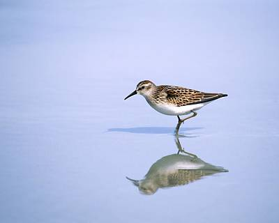 Photograph - Least Sandpiper With Reflection And Shadow by Bradford Martin