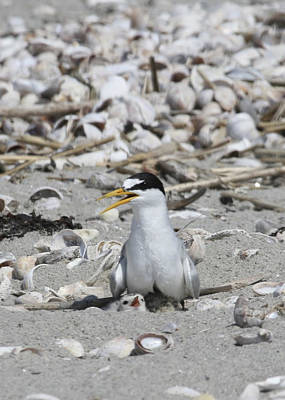 Photograph - Least Tern by Brian Magnier