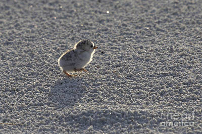 Photograph - Least Tern Chick by Meg Rousher