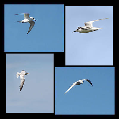 Photograph - Least Tern Collage by Dawn Currie