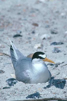Photograph - Least Tern On Nest by Millard H. Sharp