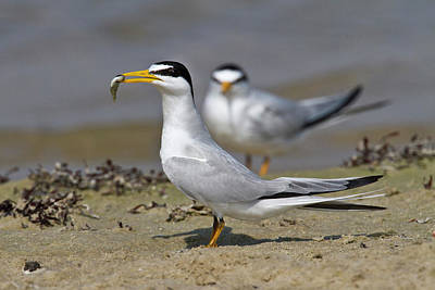 Bonding Photograph - Least Tern (sterna Antillarum, Offering by Larry Ditto