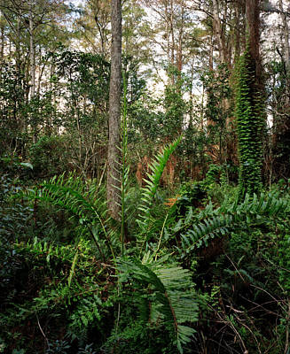 Photograph - Leather Fern. Shingle Creek. by Chris  Kusik