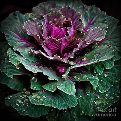 Decorative Cabbage After Rain Photograph Art Print by Walt Foegelle