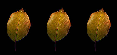 Photograph - Leaves - A Golden Trio by James Hammen