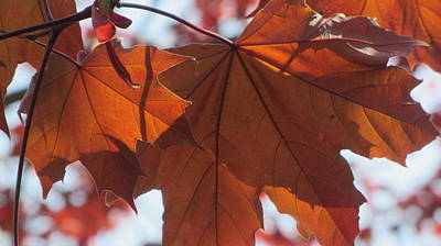 Photograph - Leaves Backlit 1 by Anita Burgermeister