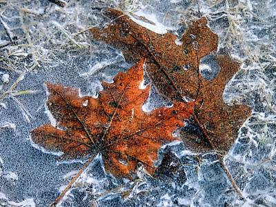 Photograph - Leaves Frozen In Puddle by Janice Drew