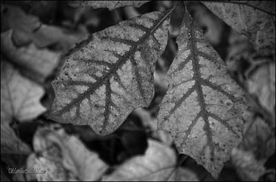 Photograph - Leaves In Fall Monochrome by LeeAnn McLaneGoetz McLaneGoetzStudioLLCcom