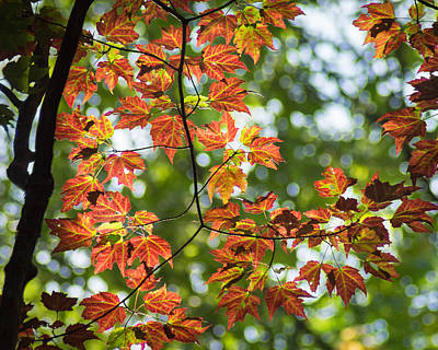 Photograph - Leaves In The Light by Bill Pevlor