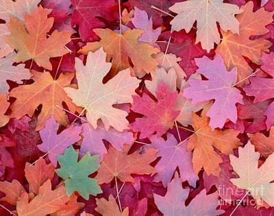 Photograph - Leaves In Utah by Dennis Flaherty