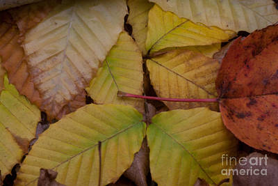 Fall Foliage Photograph - Leaves-october's Glory by April Bielefeldt