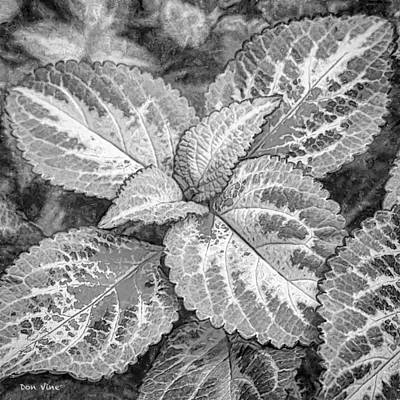 Photograph - Leaves Of Coleus  Bw by Don Vine