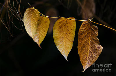 Photograph - Leaves Of Fancy 1 by Bob Christopher