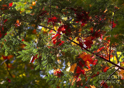 Photograph - Leaves On Evergreen by Steven Ralser