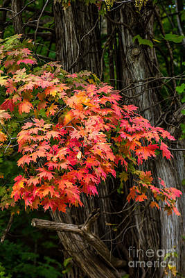 Photograph - Leaves On Fire by Jim McCain