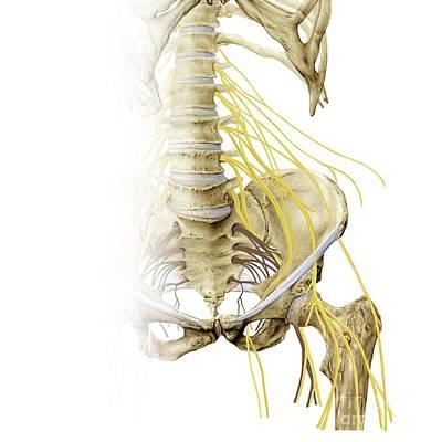 Left Hip And Nerve Plexus, Artwork Art Print by D & L Graphics