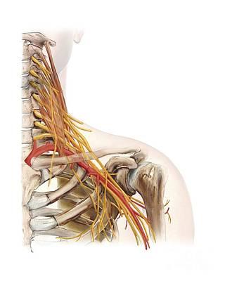 Left Shoulder And Nerve Plexus, Artwork Art Print by D & L Graphics