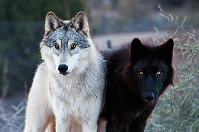 Black. Arctic Wolf Photograph - Legend And Kanab by Diane Wood