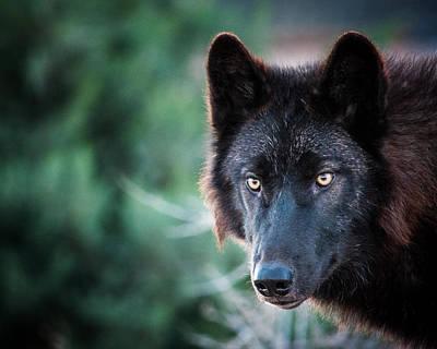 Black. Arctic Wolf Photograph - Legend by Diane Wood