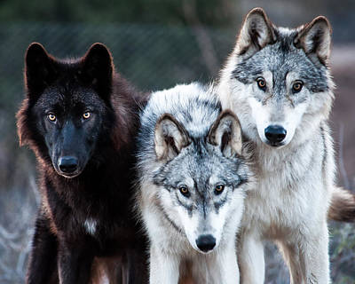 Black. Arctic Wolf Photograph - Legend Kalia And Kanab by Diane Wood
