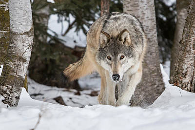 Photograph - Legend Of The Wolf by Jack Bell