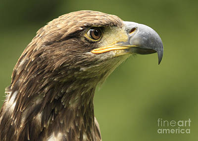 Juvenile Wall Decor Photograph - Legendary Juvenile Bald Eagle  by Inspired Nature Photography Fine Art Photography