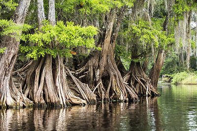 Photograph - Legs Of The Cypress by Sean Allen