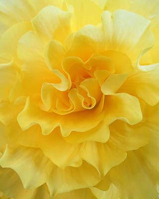 Photograph - Lemon Begonia by Ramona Johnston