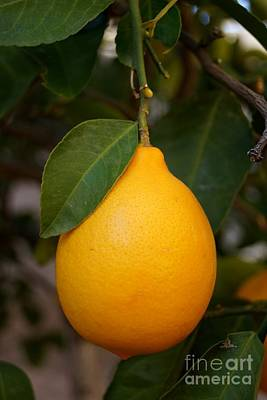 Photograph - Lemon by Kerri Mortenson