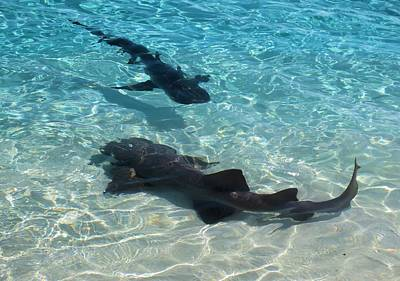 Photograph - Lemon Sharks by Jane Girardot